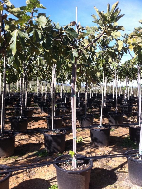 Ficus carica - null