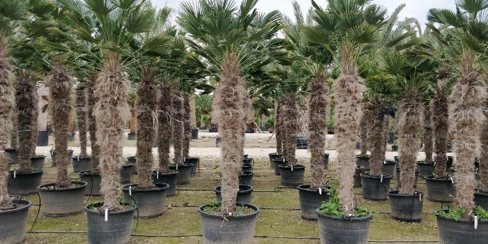 Trachycarpus Fortunei and Wagnerianus - Several sizes for all palms