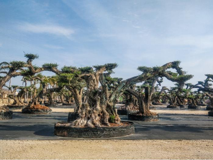 Millenary Olive trees - Several sizes