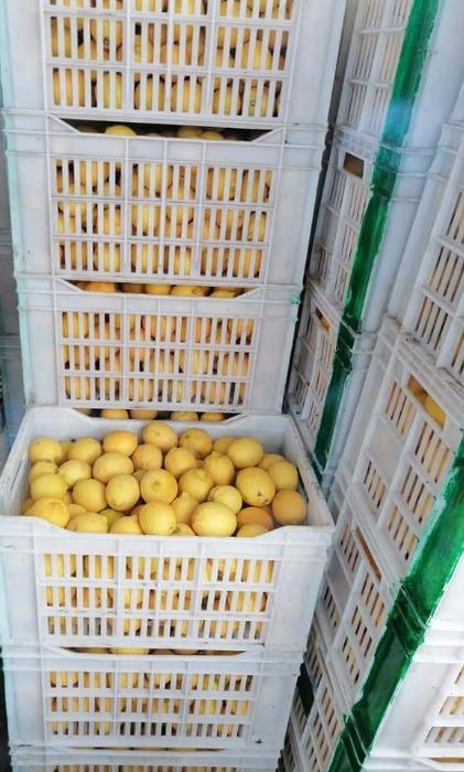 Citron égyptien - GANETELZOHOR
