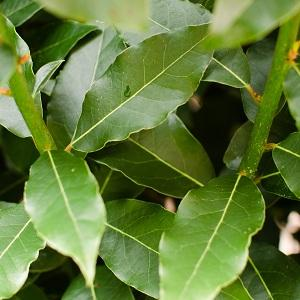 Bay (Laurel) Leaf - Laurus Nobilis