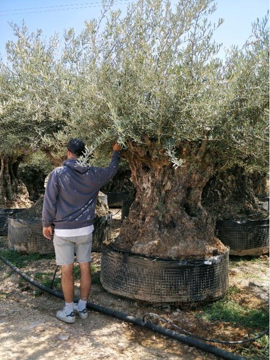 Centenary Olive Tree - Several sizes