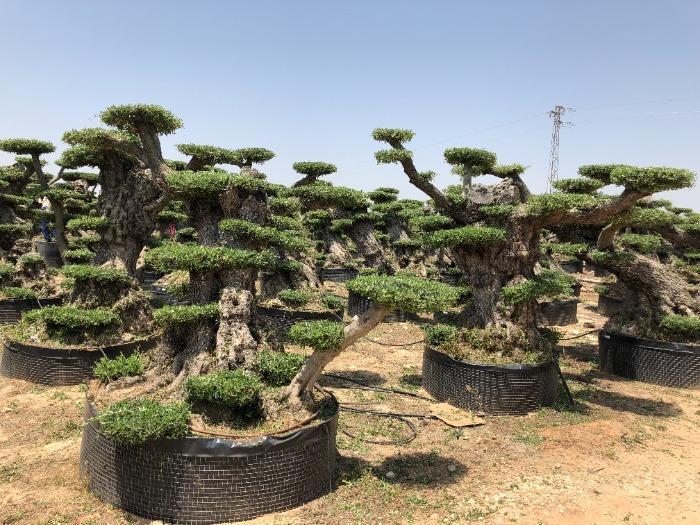 Pom Pom Olive Trees in Netting - Several sizes