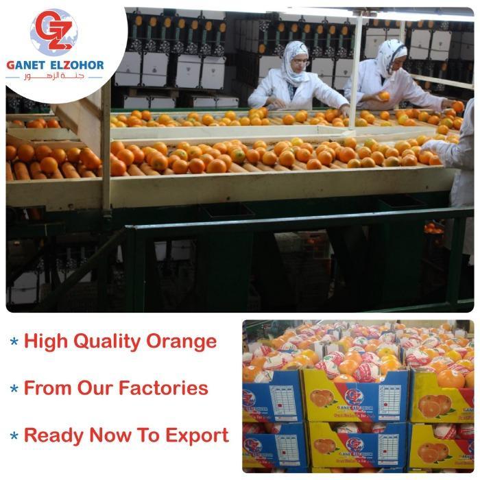 Egyptian Oranges  - Organic