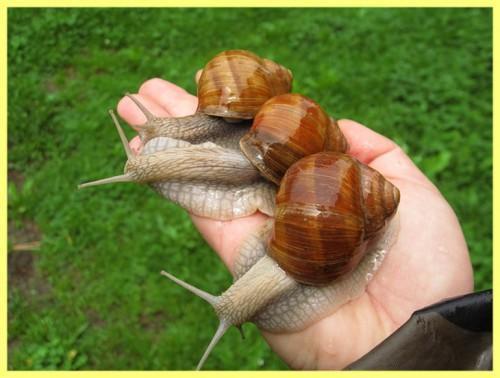 Escargots Hélix aspersa muller