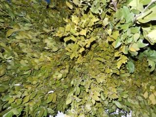 bay leaf pure essential oils - ready for sale 500 kg bay leaf pure essential oils
