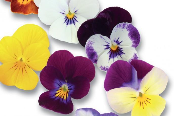 fleurs comestibles de France