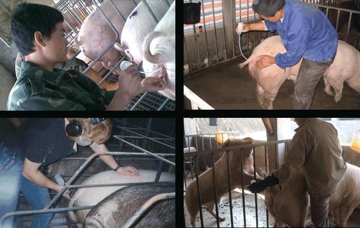 Catéter desechables de cerdo semen para inseminación artific - Punta de espuma desechables cerdo / SOW semen cateter urinario con cola