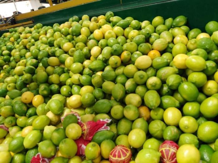 Dhalia Lemon  - Green & Yellow