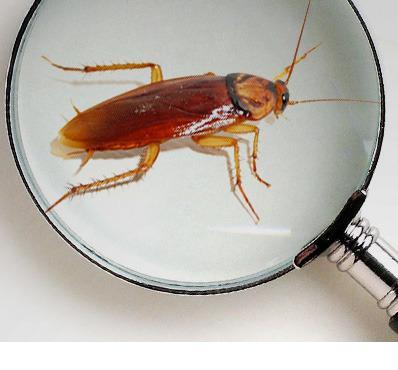 Erradication des cafards  - Vous faites face à une invasion de cafards (blattes) contactez-nous!