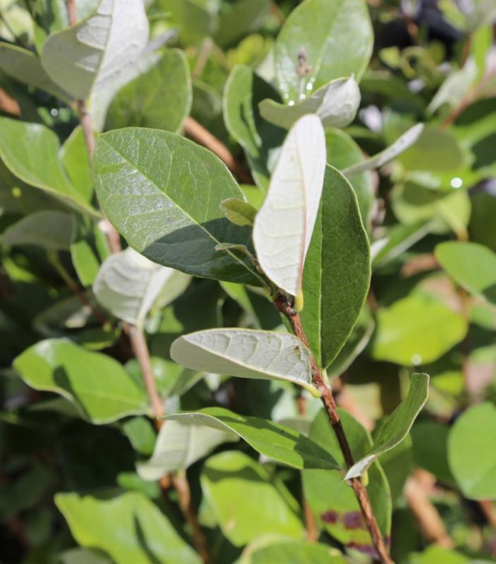 Fejioa - Arbusti