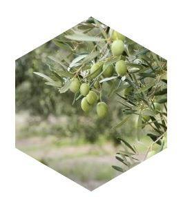 L'huile d'olive - Matières premières