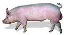 PIGS - Yorkshire