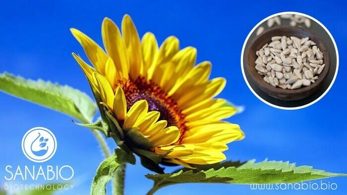 Sonnenblumenöl, BIO KOSMETIK - null