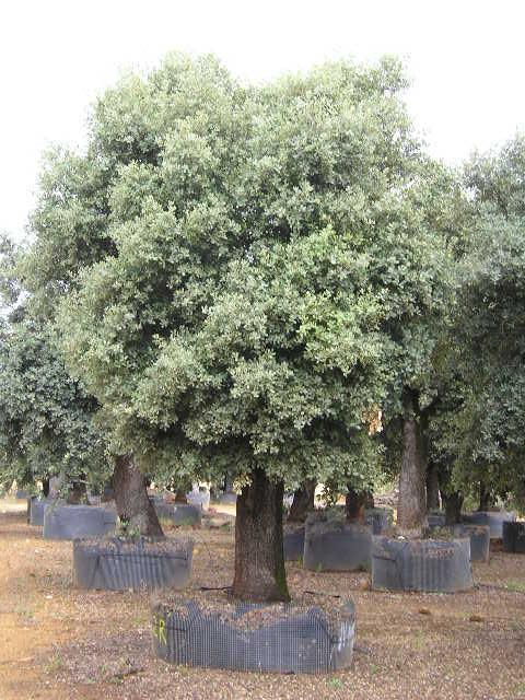 Quercus rotundifolia - null