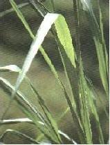 CITRONNELLE - Autres agroalimentaires