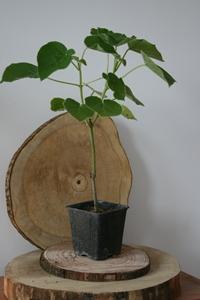 Plante Paulownia
