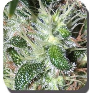 Semillas de marihuana pulsar