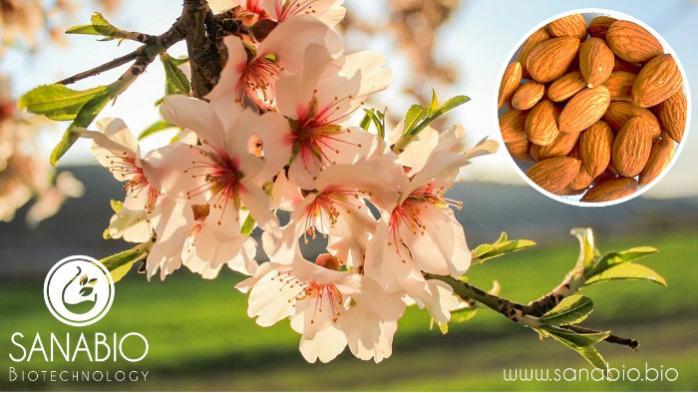 Organic Almond Oil - For Cosmetics (INCI: PRUNUS AMYGDALUS DULCIS OIL)