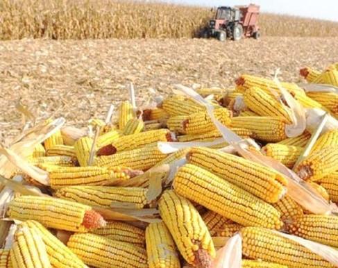 Yellow corn - Yellow corn, maize