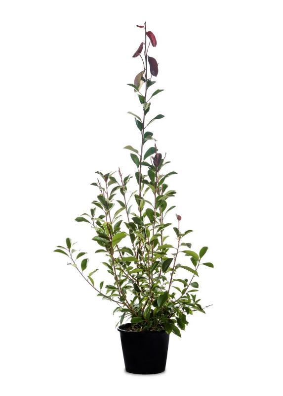 Photinia red robin - Arbusti