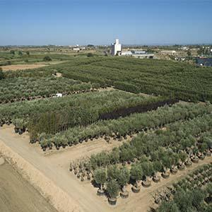 Vente d'oliviers pour jardinerie