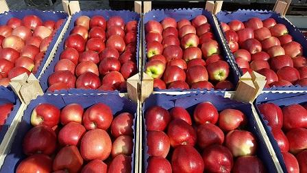 яблоки молдавия - фрукты из молдавии