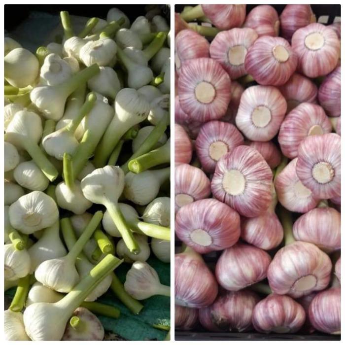 """Fresh Garlic - Pure """" Red & White """""""