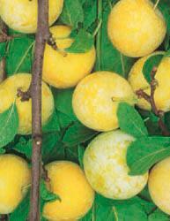 Frutti Nani - Susino Nano Giallo