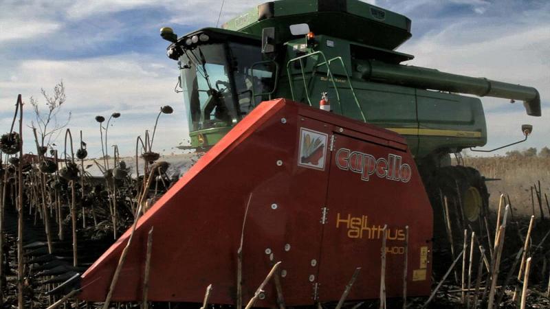 Bec cueilleur pour la récolte du tournesol - Helianthus