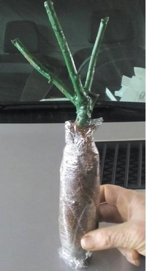 Rose plants -