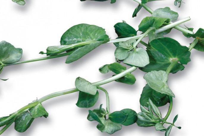 Crazy Pea - Micro végétaux