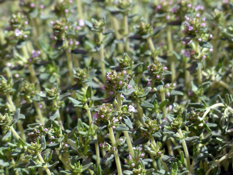 Spices and aromatic plants - Thyme (Thymus)