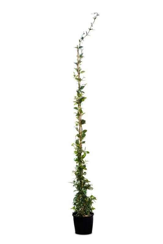 Rhyncospermum jasminoides - Arbusti