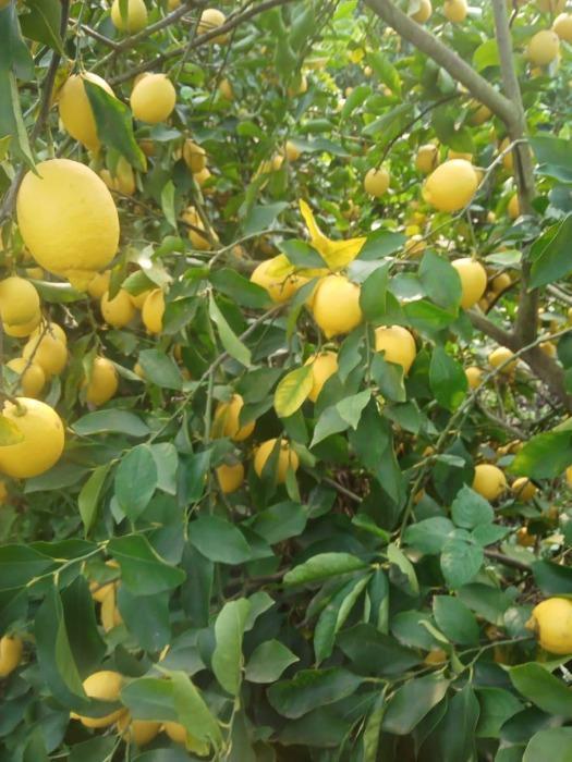 Egyptian Lemon - Dhalia & Barley