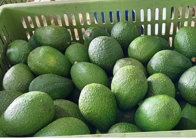 Aguacate HASS -Avocado HASS - Fruta Aguacate HASS Exportación Importación