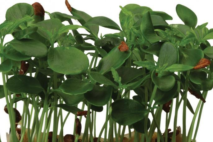 Tahoon Cress - Micro végétaux