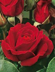 Rosai a grandi fiori - Rosso Intenso