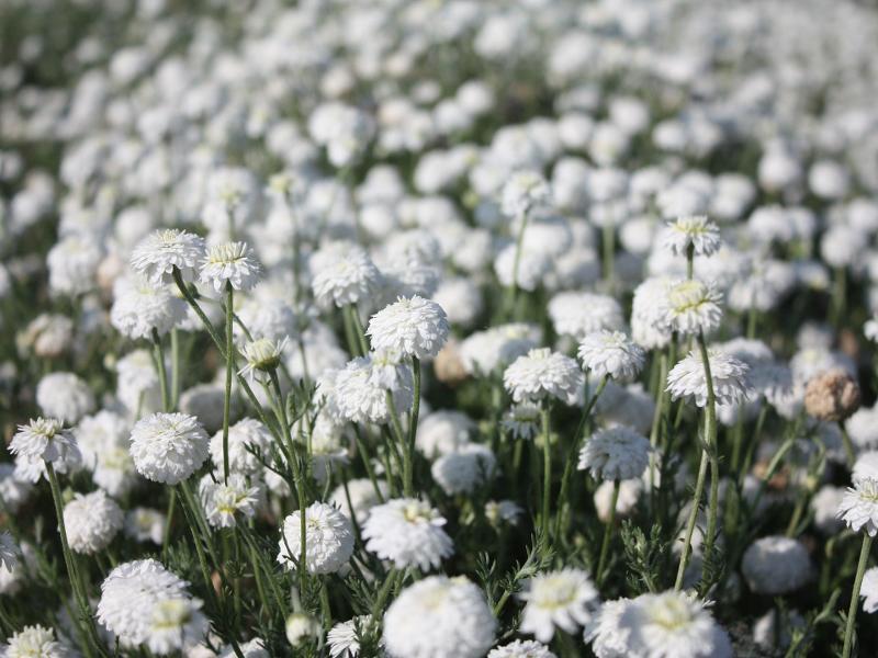 Roman camomile (chamaemelum nobile) - Plant