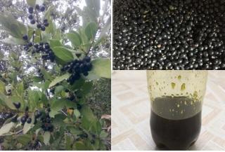 Bay oil - Bay laurel oil