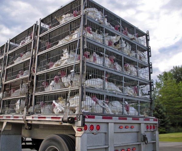 des camions de transport d'animaux vivants - Un nettoyage désinfection efficace