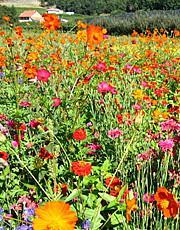 Pelouses fleuries