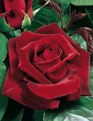 Rosai a grandi fiori - Rosso Vellutato