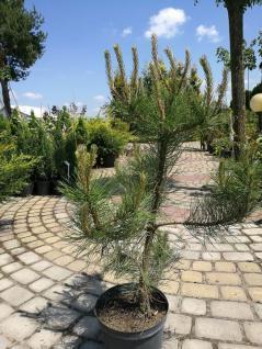 Pinus Nigra = Schwarze Kiefer