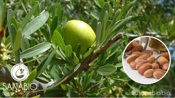 Organic Argan Oil - For food and cosmetics (INCI: ARGANIA SPINOSA KERNEL OIL)