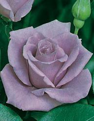 Rosai a grandi fiori - Luna Blu