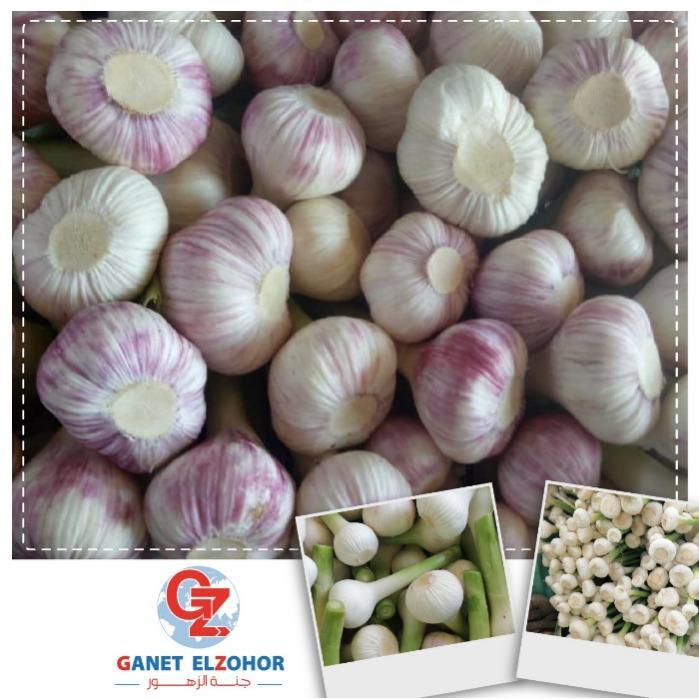 Egyptian Garlic - Organic