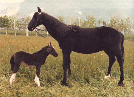 Standing Black Horse cm.200