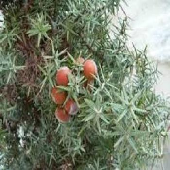 Organic Cade Oil Rectified - USDA Organic