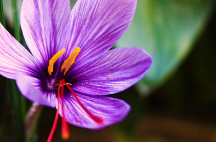 Saffron -
